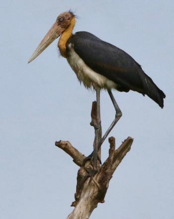 Large, pre-historic-looking bird standing on top of tree trunk.