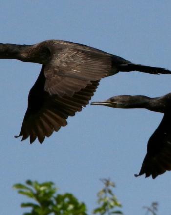 Two black birds flying.