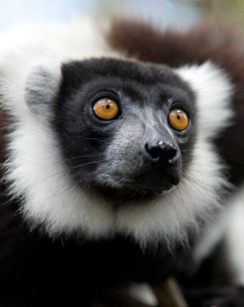 Close up of lemur's face, orange eyes.