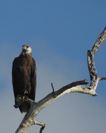 Fish eagle perched on high branch, blue sky in background.