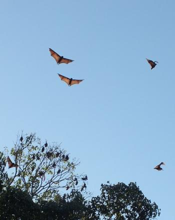 Six flying foxes in flight.