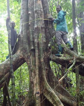 Two men measuring large tree.