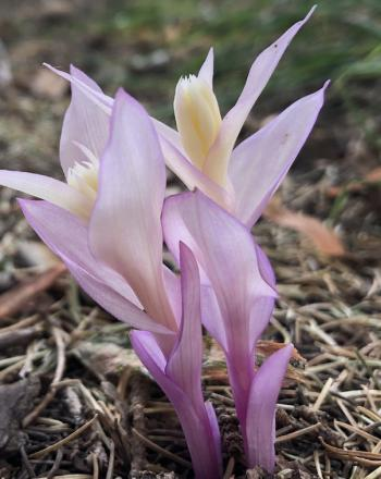 Pale purple flower growing from ground.