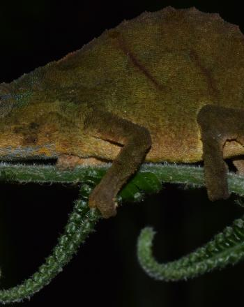 Close-up of green and brown chameleon on fern branch, black background.