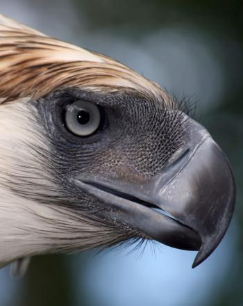 Close-up of eagle's face.