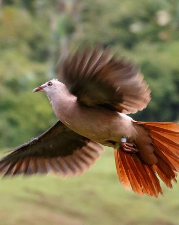 Pink pigeon mid flight