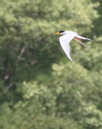 White bird with black head and yellow beak mid-flight.
