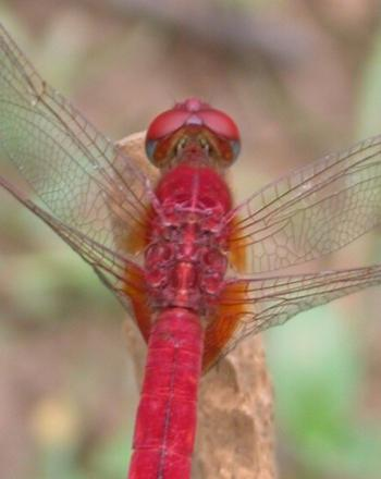 Close-up of red dragonfly.