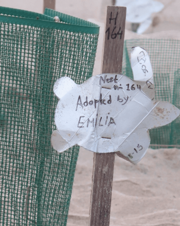 """Sea turtle eggs inside green fencing, sign that says """"Adopted by Emilia"""""""