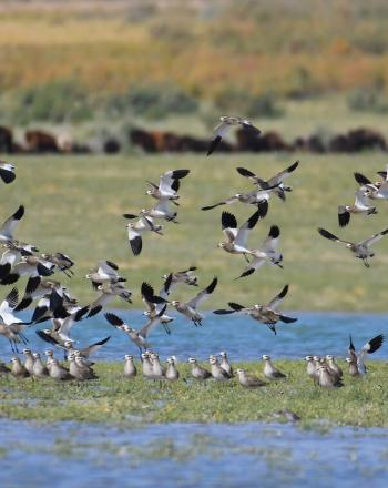 Dozens of black-and-white birds on and above water.