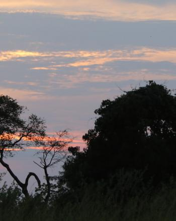 Dark foilage in front; light blue, yellow and pink sky in background.