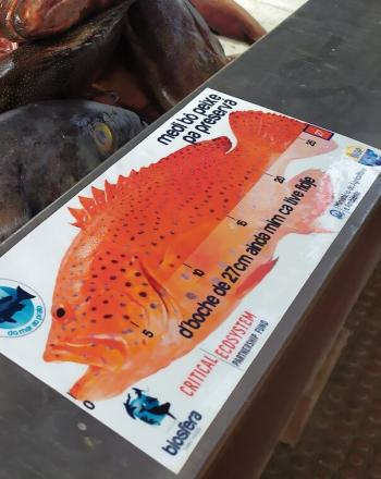Dead, red fish in a bin with sign showing necessary size of sustainable grouper.