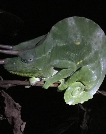 Chameleon on branch, lit up amid darkness.