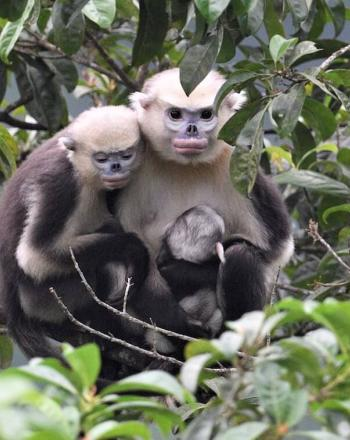 Two adults and one young monkey huddled together in tree.