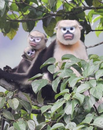 Two adults and one young monkey close together in tree.