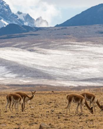 Seven vicunas eating short, yellowish grass, snowy mountains in background.
