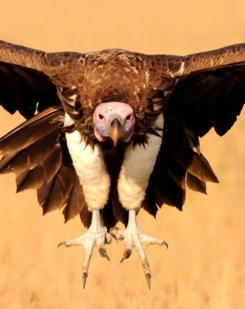 Large vulture flying straight at camera, wings wide.