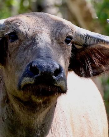 Close up of water buffalo, looking forward.