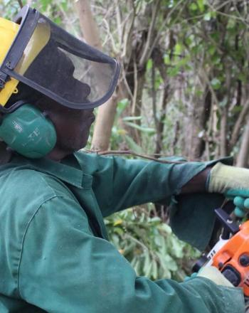 Man with safety helmet on uses electric saw to cut down non-native tree.