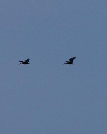 Three birds in the distance, mid-flight.