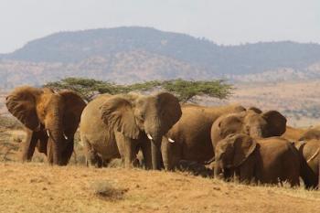 Herd of elephants on savannah.