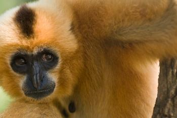 Close-up of yellow and brown gibbon in tree.
