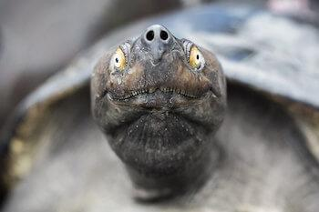 Close-up of turtle looking directly toward camera.