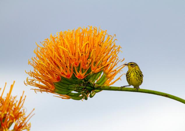Small bird on horizontal branch of large, orange flower.