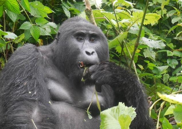 close-up of silverback gorilla munching on leaves.