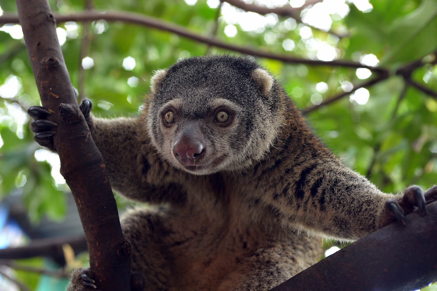 Close-up of cuscus in tree.