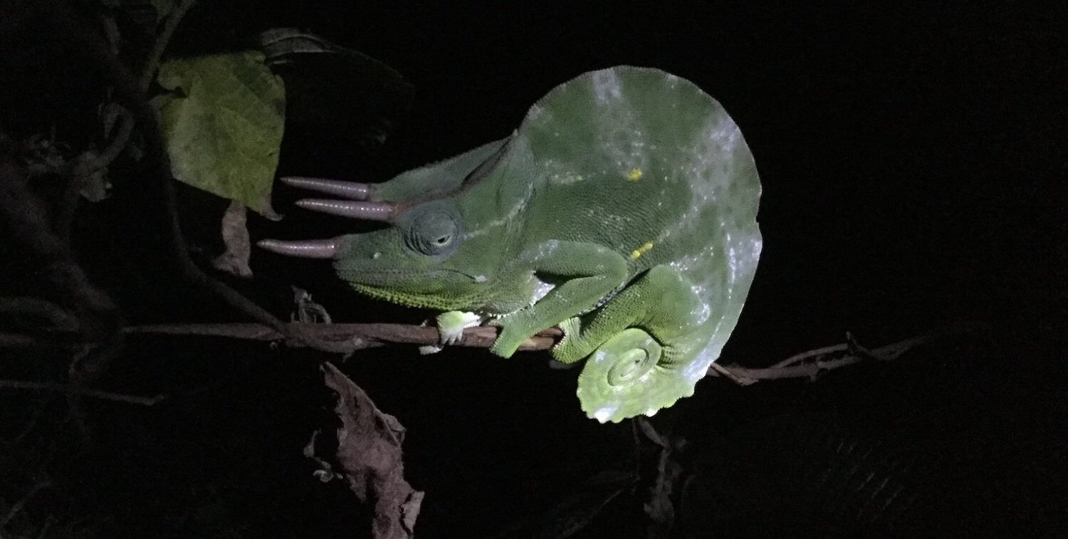 Chameleon on branch, lit up amid darkness.