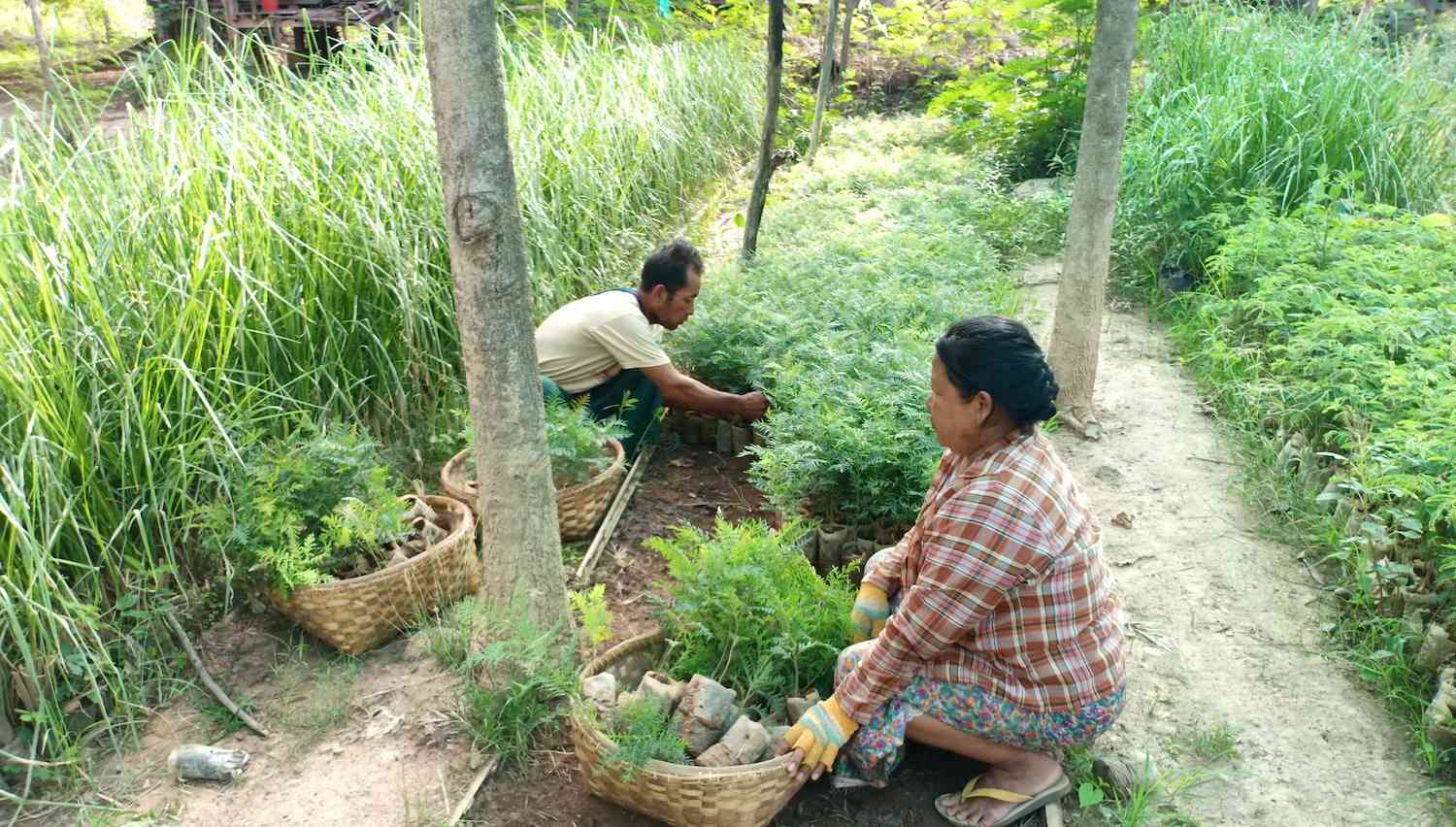 A man and a woman handle tree seedlings in a nursery.