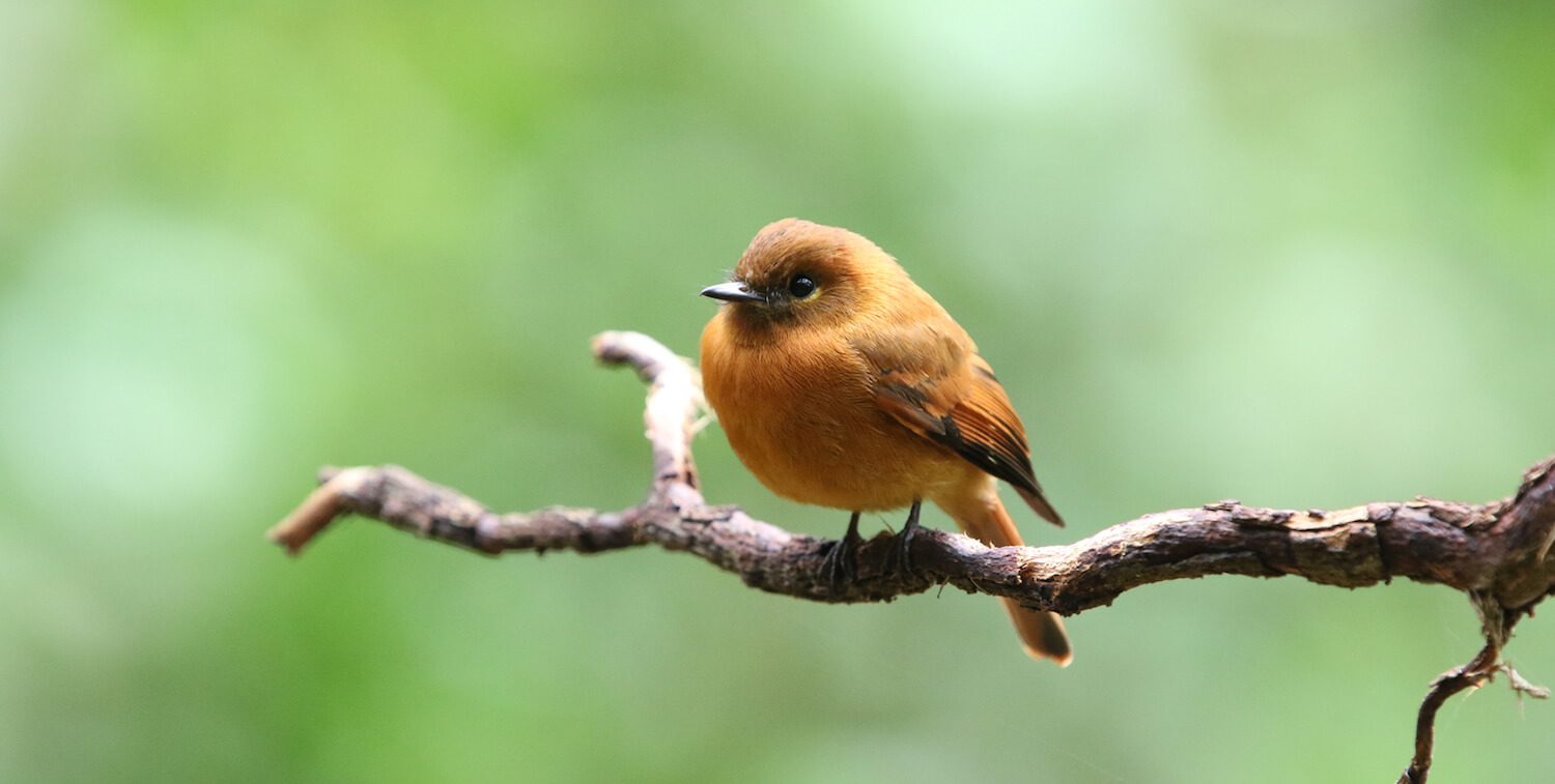 Close-up of small, plumb, brown bird standing on branch.