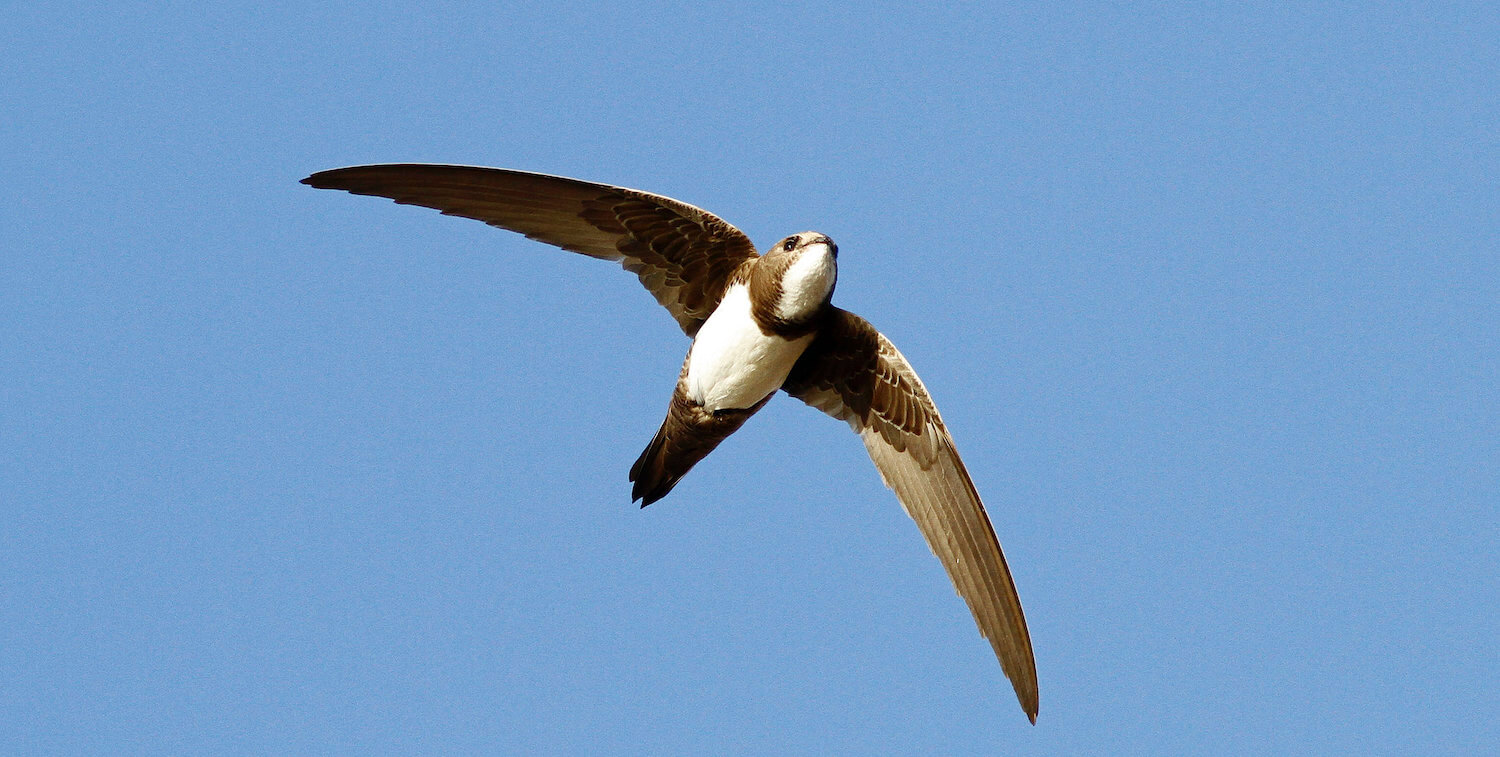 Brown-and-white bird flying overhead against blue sky.