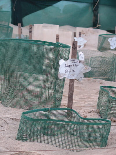 Turtle nesting sites protected by green netting.