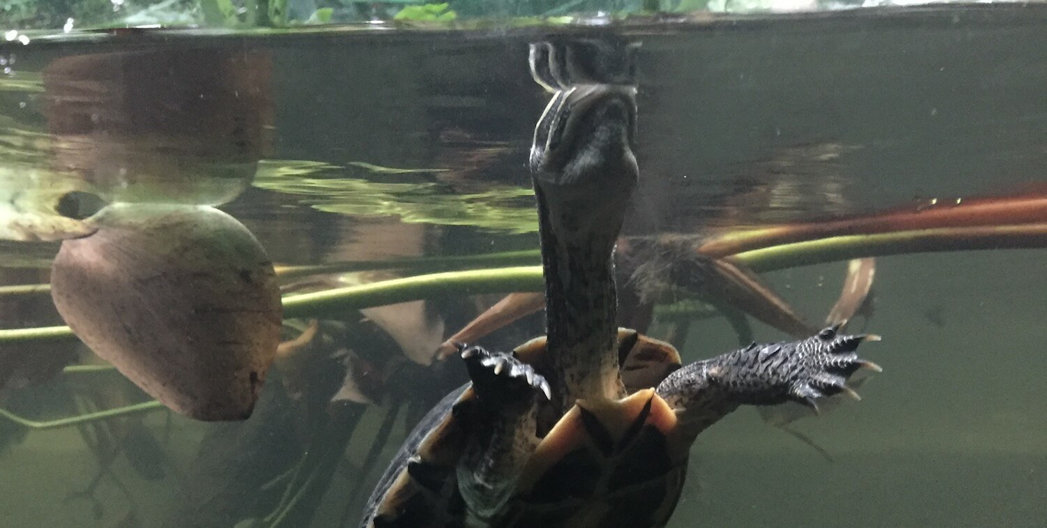 Underwater view of turtle at water's surface.