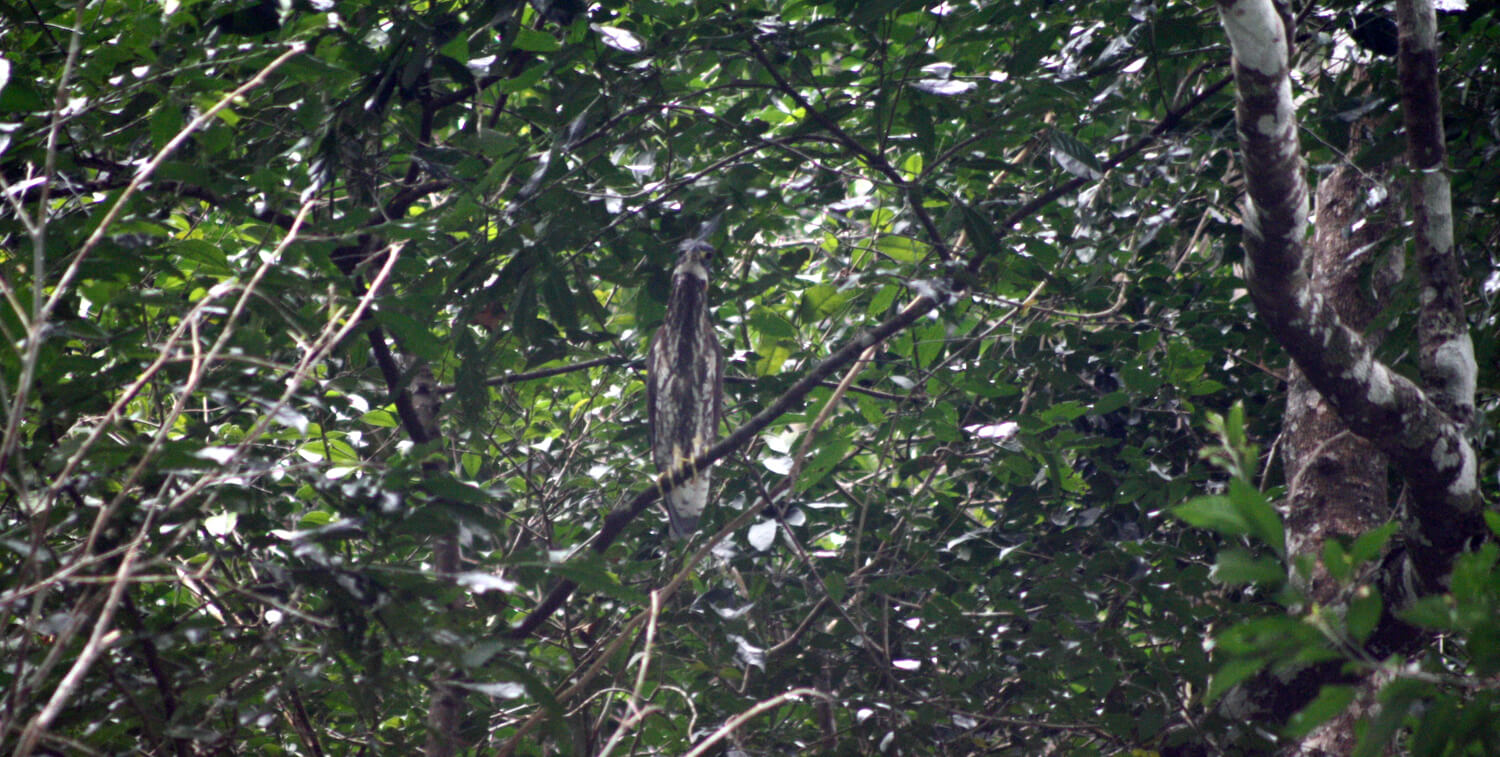 White-and-brown heron standing in dense tree.