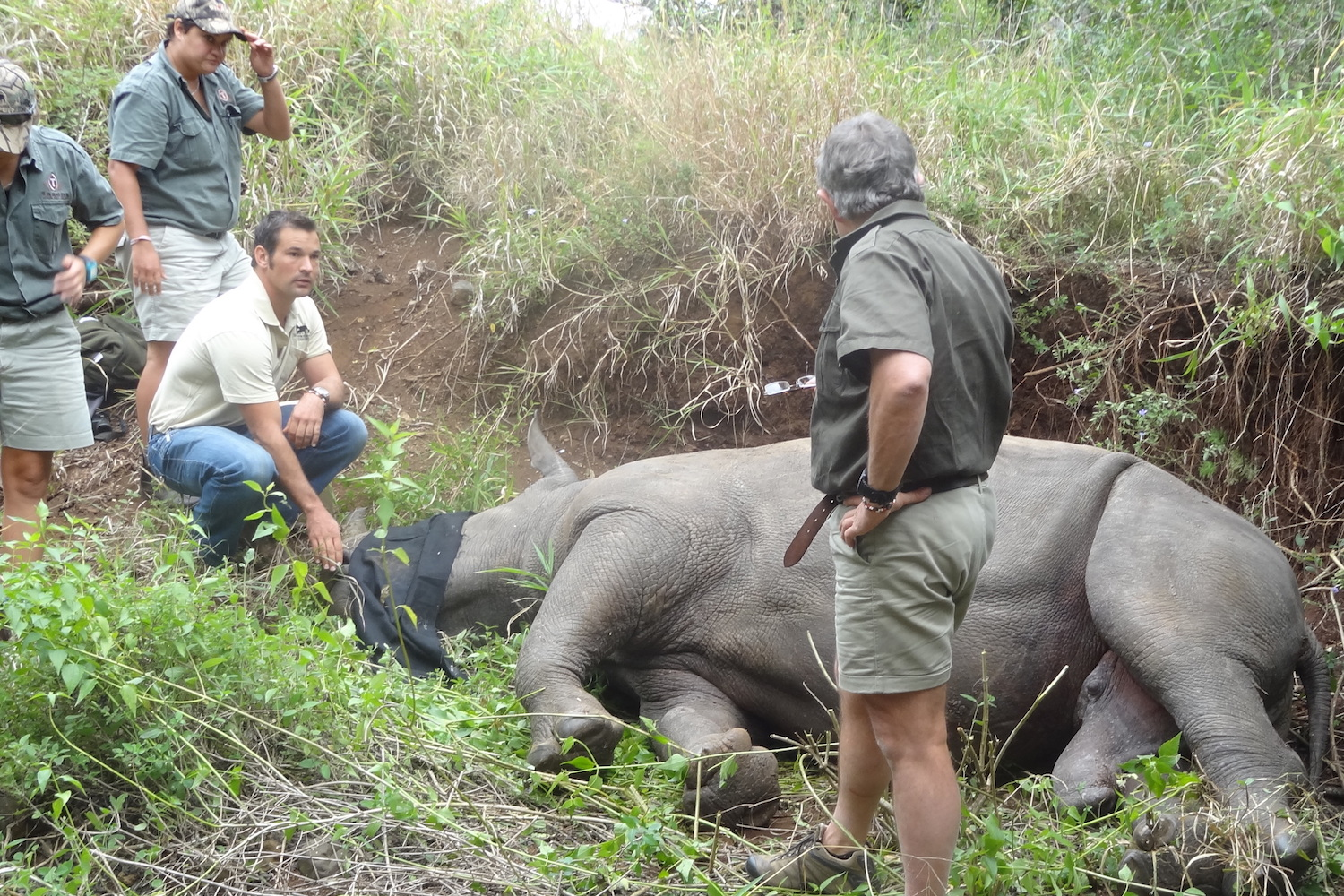 Sedated rhino, face covered, surrounded by a handful of people.