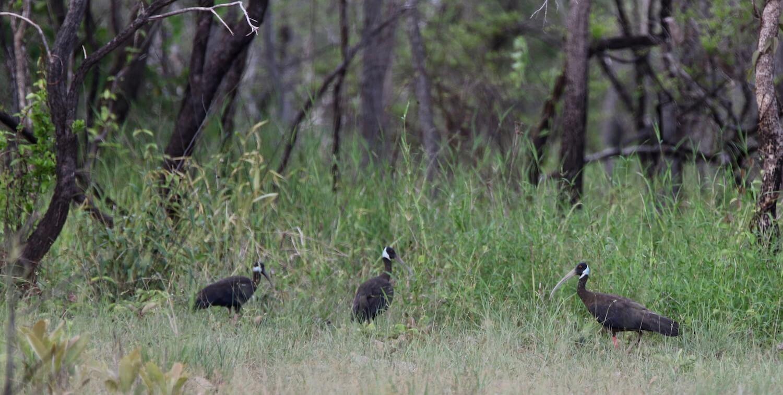 Three primarily black birds standing on grassy ground, forest in background.