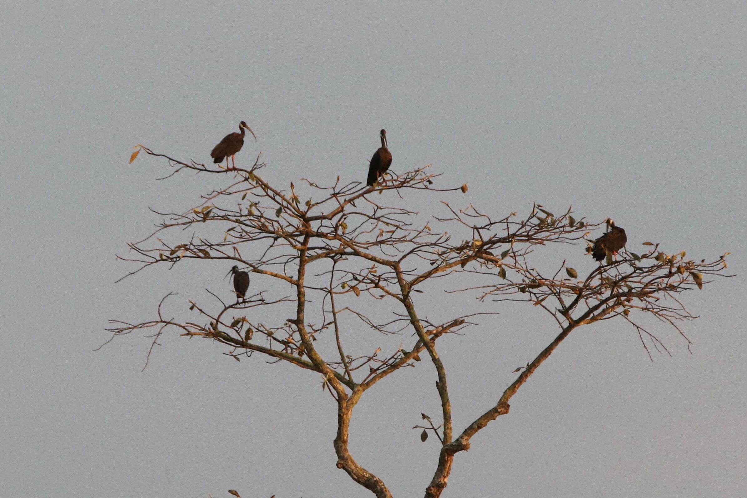 Four large birds with long beaks in tree.