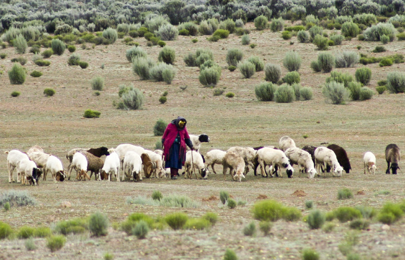 Older woman with a dozen sheep lined up, walking across field while eating vegetation from the ground.