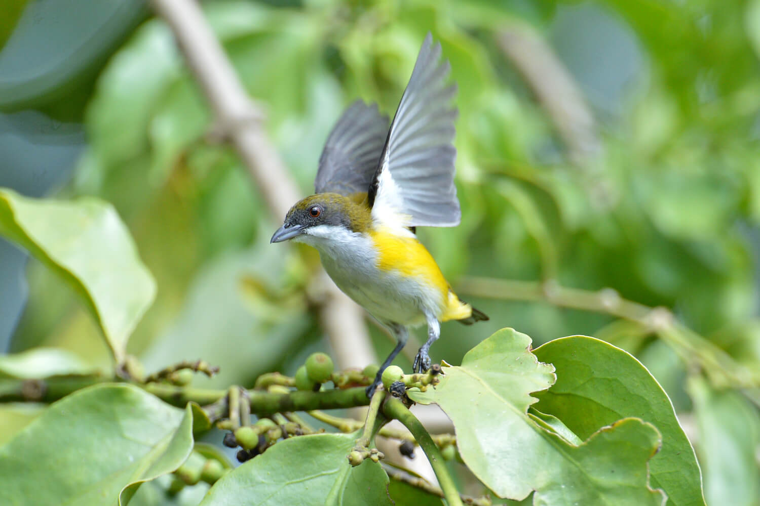 Close-up of small yellow, white and gray bird with wings up, either about to take flight or just landing.